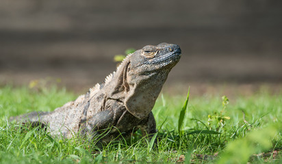 Sleepy Large Black Iguana (Ctenosaura similis) sunning himself in a grassy field.