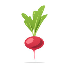 Radish vector isolated illustration