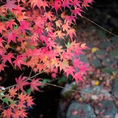 秋の紅葉・もみじ