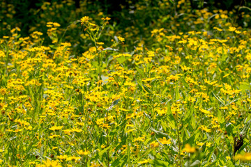 Yellow sesame flowers field background
