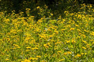 Yellow sesame flowers field background