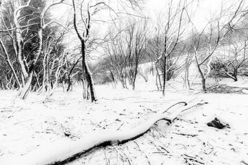 Trees with snow in winter with a fallen trunk