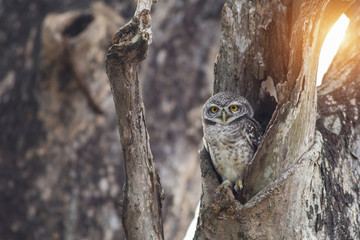 Bird, Owl, Spotted owlet (Athene brama) in tree hollow,Bird of Thailand