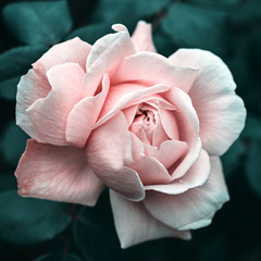 Pink rose close up, stylized