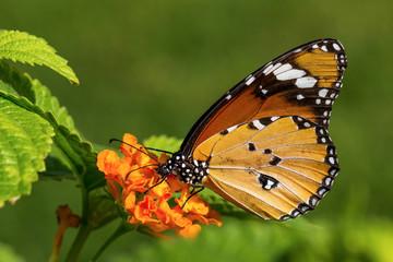 The plain tiger or African queen (Danaus chrysippus) 2