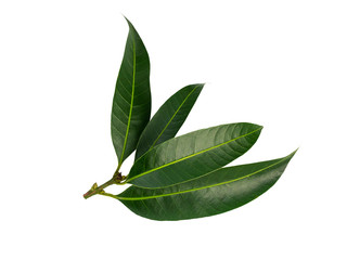 Citrus leaves on white background. (clipping path)