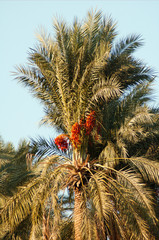 Palm trees with dates in the Jordan valley Phoenix dactylifera