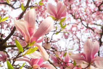 Spring background with blooming magnolia