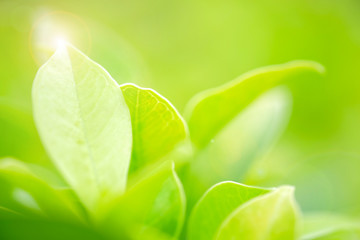 Close-up and selective focus by macro lens with fresh green leaf and overexposure of sunlight on green nature blurred background at public park in morning time, greenery season background