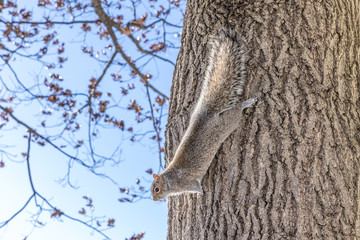 Funny grey squirrel sitting in a tree on blue sky background