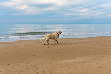 English Golden Retriever Standing on a Beach on the Italian Southern Mediterranean Coast