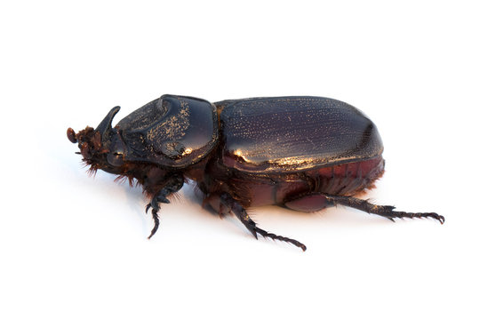 Image of Coconut rhinoceros beetle, Indian rhinoceros beetle, Asian rhinoceros beetle on white background. Insect.  Animal.
