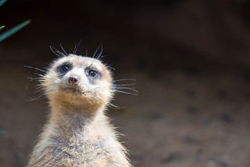 A closeup shot of a meerkats head while standing and being watchful of the environment