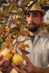 Man holds two organic yellow pears