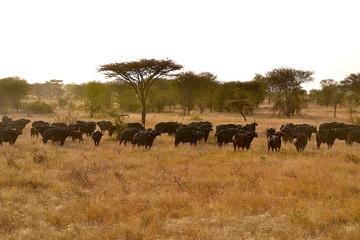 büffelherde serengeti