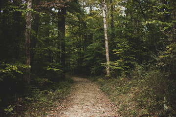 A mysterious forest trail surrounded by dense pine, oak, and birch trees. Beautiful, lush forest scene