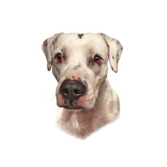 Mastiff, Dogo Argentino isolated on a white background. Cute head of white dog. Drawing in realistic style. Graphic portrait dog, hand drawing illustration. Animal collection Dogs. Design template