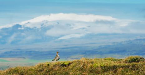 Golden plover on background of Eyjafjallajokull volcano, Iceland
