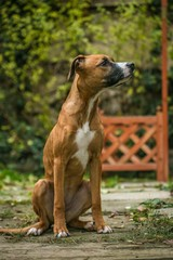 Portrait of a young mixed breed brown female dog with white chest sitting on a stone path with grass in a garden looking sideways, blurry green bush and wooden fence in background, vertical image