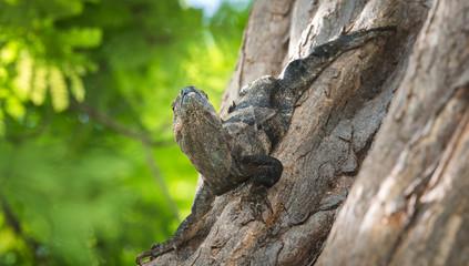 Large Black Iguana (Ctenosaura similis) sunning himself on a tree trunk.