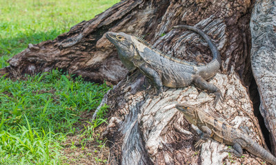 Large Black Iguana (Ctenosaura similis) sunning himself on a tree trunk.