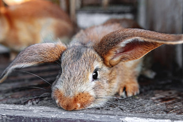 eared red rabbits live in a cage with hay. Farm Animal breeding for sale