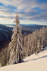 Snowy spruce forest in winter mountains