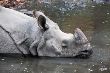 Rhinoceros into the water