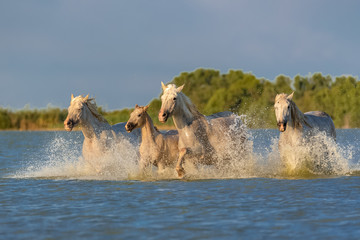 Horses running in the water, beautiful purebred horses in Camargue
