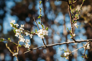 close-up of flowering tree in spring. background