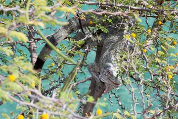Leguan versteckt sich auf Baum