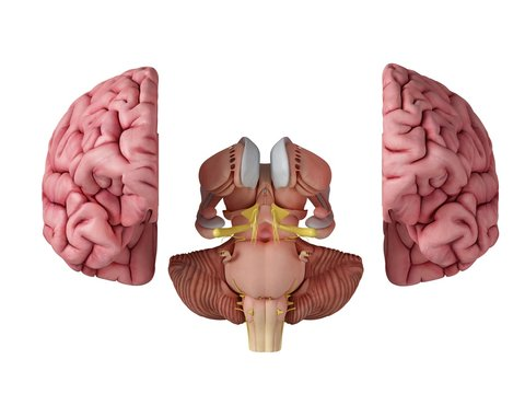 Illustration of the brain anatomy
