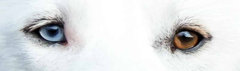 treuer Hundeblick eines weißen Huskys mit einem blauen und einem braunen Auge