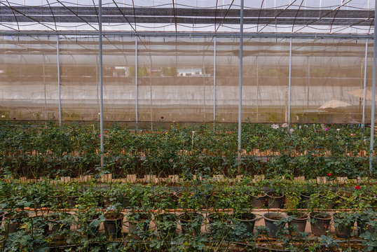 Cultivated roses rows in glasshouse in daytime in rural area for agritourism, agrotourism, plantation, work, agriculture, career, travel, season, time, holiday and vocational concept