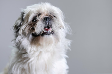 Cute but kind of ugly shih tzu stands proud for his studio portrait.