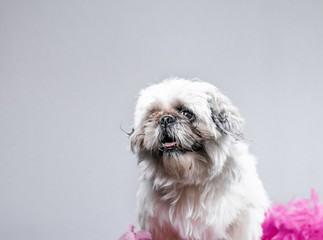 Cute, simple animal portrait - funny looking shih tzu poses with pink flowers draped around neck in cute wallpaper style photo