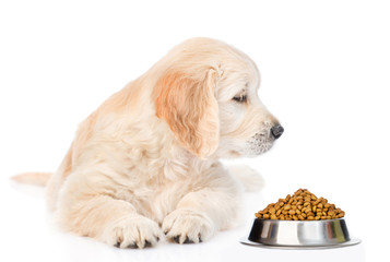 Golden retriever puppy sniffing dry dog food. isolated on white background
