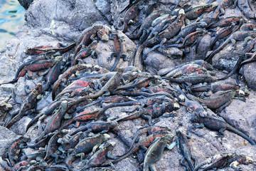 Marine iguanas on Espanola Island, Galapagos National park, Ecuador
