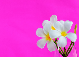 Background with white tropical plumeria flowers on pink color background. Selective focus. Place for text