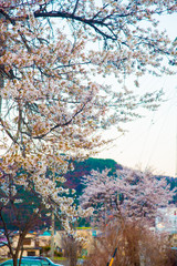 Cherry Blossom in Nagano, Japan. April in Japan is very popular about Sakura Cherry Blossom.