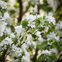 Apple blossom in a park. White blossoms in an apple garden. Spring flowers.