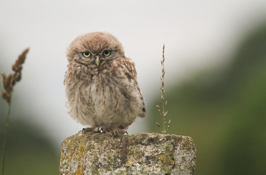A cute baby Little Owl (Athene noctua) perching on a fence post at sunset.