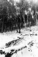 Trees with snow in winter with fallen trunks