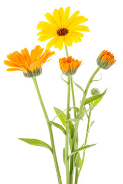 Calendula officinalis. Marigold flowers with leaves isolated on white background. Medical plant.