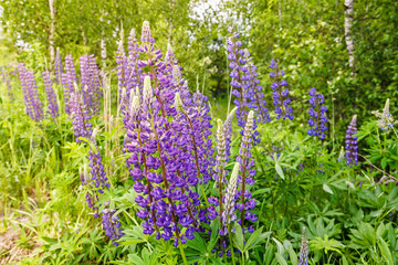 Lavender plants and flowers