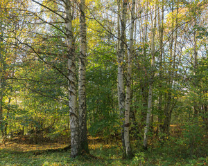 Two iscolated tress in local forest during autumn