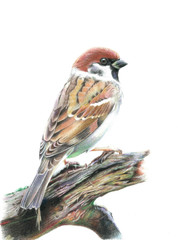 Sparrow on a branch. Pencil drawing.