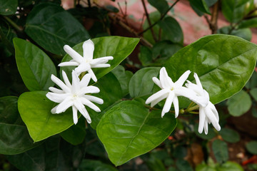 Jasmine white flowers blooming in garden