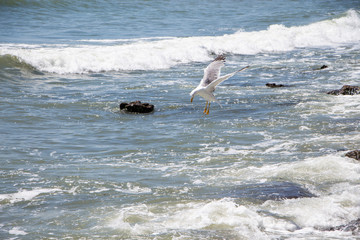 Gull. Seagull hunting above the sea.