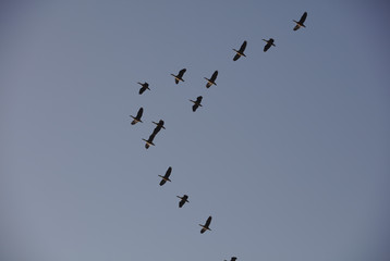 3700 Ducks flying in formation